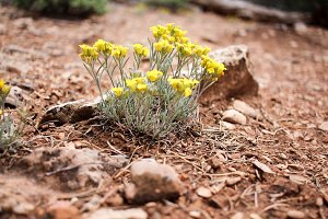Yellow Flowers by rocks