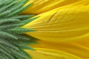 Yellow Daisy Macro