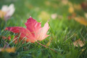 Bright autumn maple leaves. Autumn b