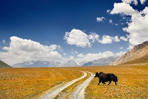 Yak in the mountain valley