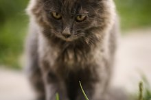 gray kitten with chocolate tint by  in Photos