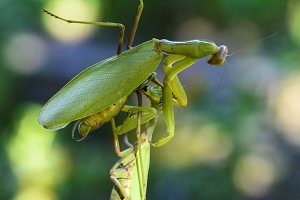 one mantis keeps a hanging other