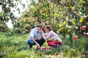 A senior couple picking apples in