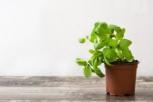 Pot with basil plant