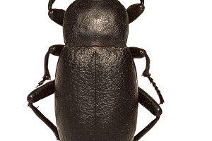 Churchyard Beetle