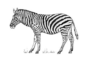 African Zebra Wild animal on