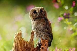 Owl, Bird, Owl Brown,