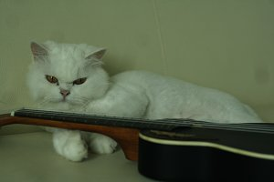 Cute Persian White Cat With Ukulele