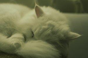 Sleeping Cute Persian White Cat