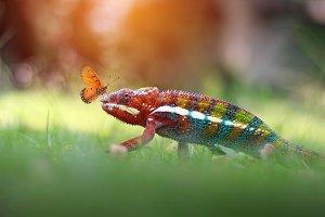 Chameleon, Chameleon Phanter