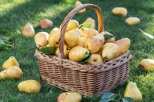 Ripe pears in the basket on the gree