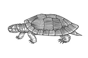 Turtle vector illustration.