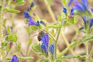 Bee over lavender flower
