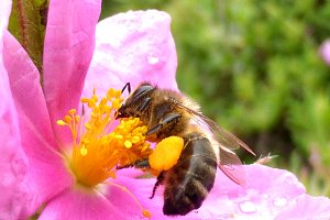 Honey Bee on Pink Rose