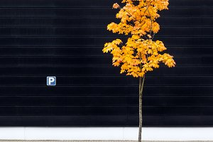 Parking lot maple tree in autumn