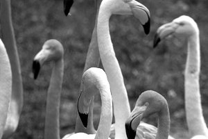 Animals Black & White