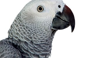 Profile of a grey parrot
