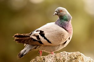 Beautiful wild pigeon