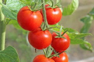 Truss of Red Tomato