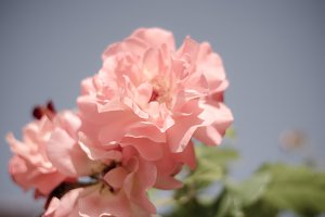 Shabby Chick Rose