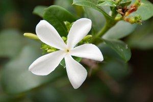 Carissa - exotic flower