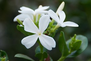 Natal Plum - Carissa