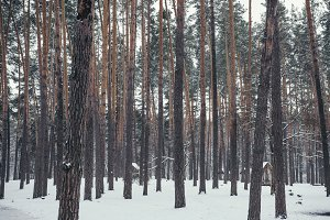 high brown pines in snowy forest