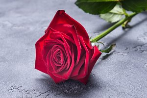 Red rose on greay background