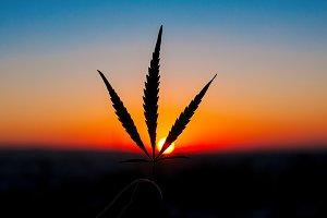 Marijuana leaves in the hands of man
