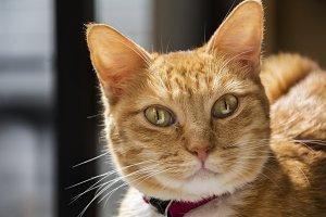 closeup view of a blond cat.