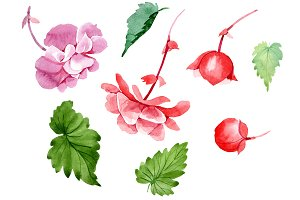 Begonia flower plant PNG watercolor