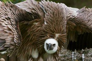 griffon vulture portrait 2