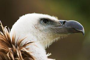 griffon vulture portrait 4