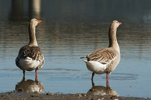 two grey geese