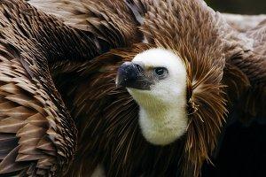 griffon vulture portrait 3