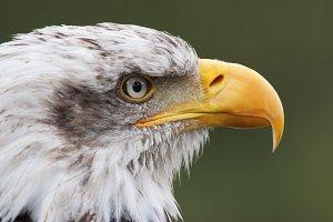 bald eagle head portrait close up
