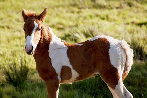 foal horse white and brown