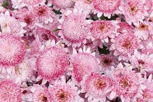 Field of pink chrysanthemum.