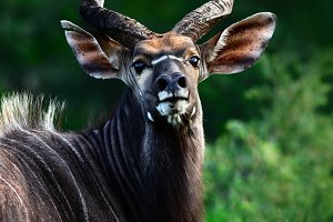Highly alerted Nyala bull