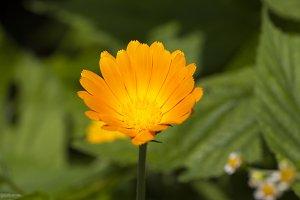 flower of calendula