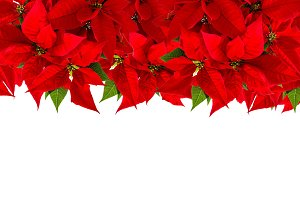 Christmas red flower poinsettia