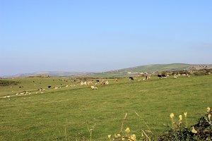 Coastal Grassland Sheep Cows