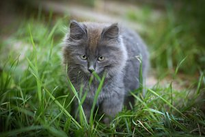 gray little fluffy kitten