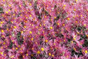 Field of dark pink chrysanthemums.
