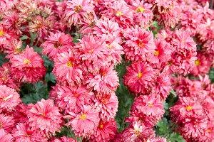 Field of pink chrysanthemums.