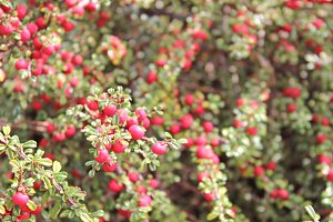 Cotoneaster Red Berries