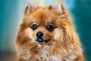 Spitz dog,Spitz Pomeranian