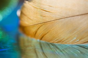 Macro golden feather with reflection