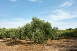 Mediterranean olive trees