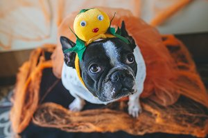 Dog with halloween costume